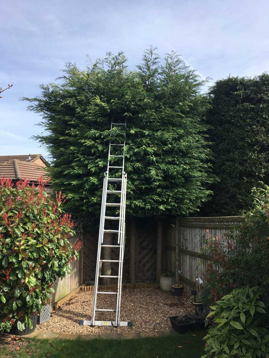Conifer hedge trim Maidstone BEFORE