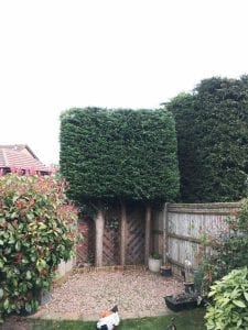 Conifer hedge trim Maidstone AFTER