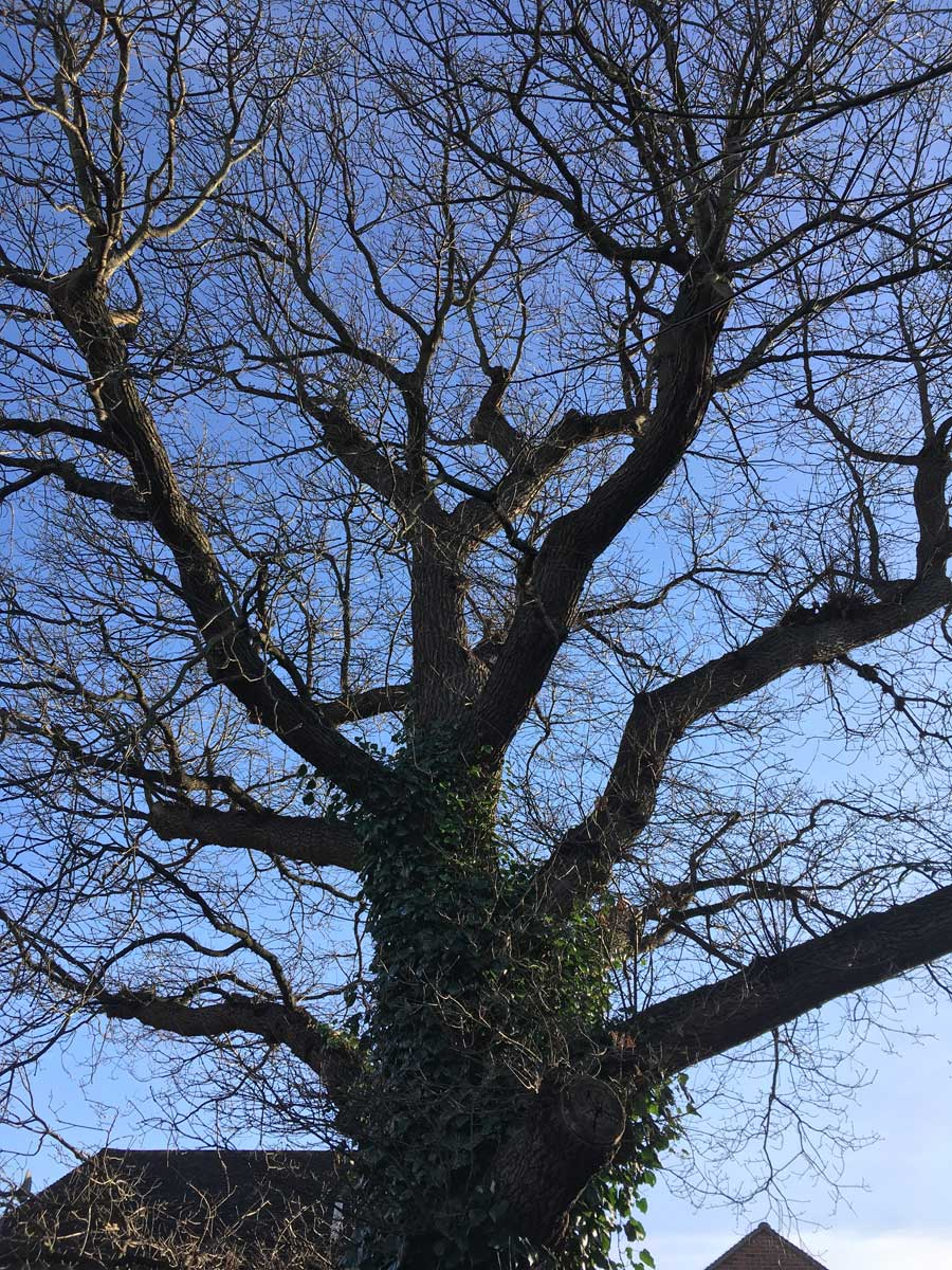Oak tree reduction