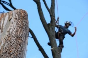 Local tree service local tree surgeon near me
