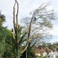 Sycamore tree take down Maidstone Kent