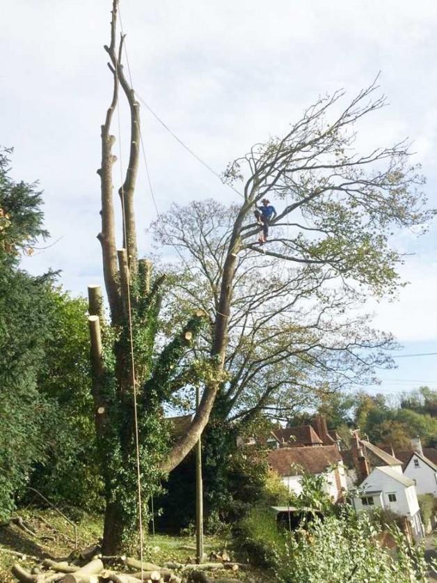 Sycamore tree take down Maidstone Kent