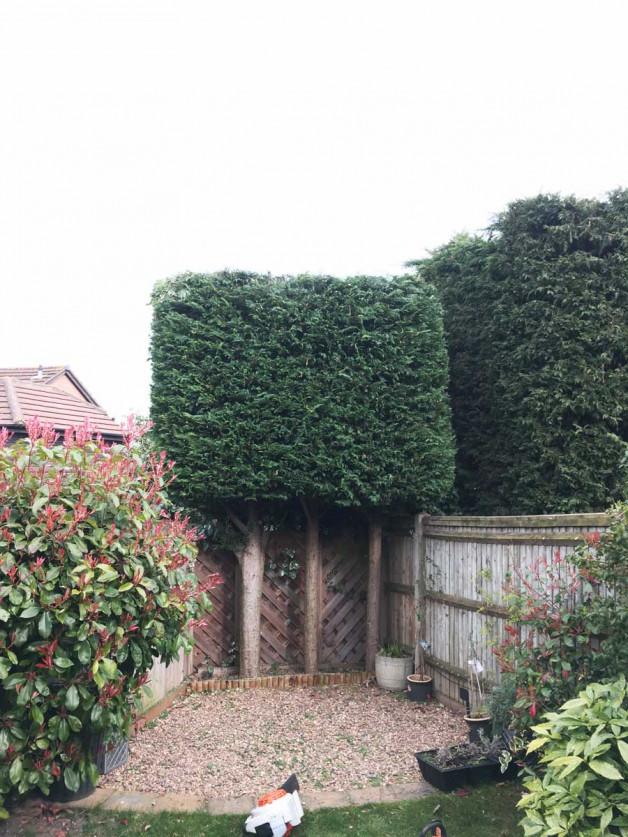 Conifer hedge trim in Maidstone Kent