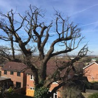Large oak tree reduction in Marden Kent